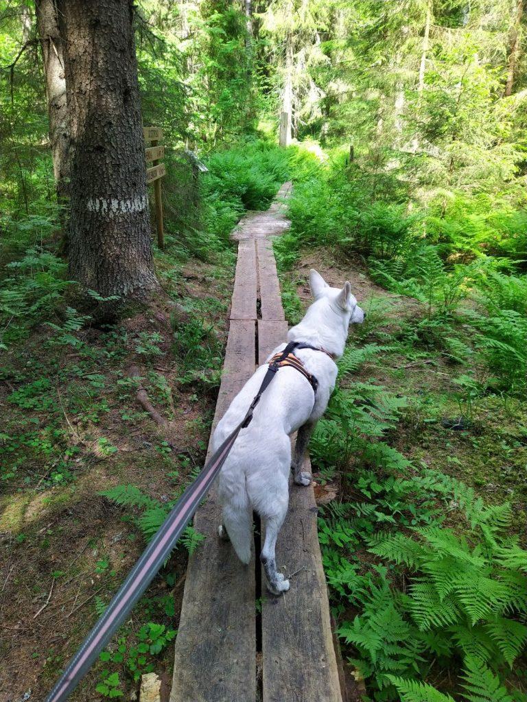 Pitkospuut metsässä. Puussa näkyy reittimerkki ja puun takana polun opasteviitat. Koirassa on myös hihnassa kulkeva valkoinenpaimenkoira.